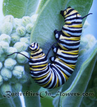5th instar monarch caterpillar on common milkweed