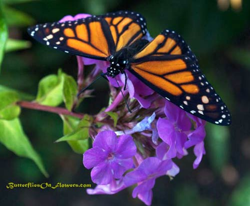 Monarch Butterfly on liatris photo