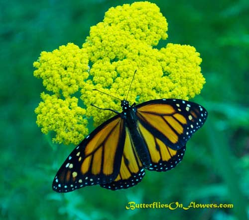 Monarch Butterfly on liatris picture