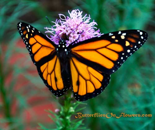 Male Monarch Butterfly on Dense Blazingstar