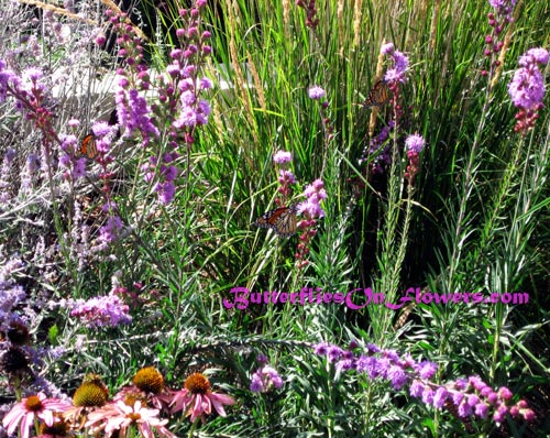 picture of Monarch Butterflies enjoying butterfly magnet Liatris ligulistylis