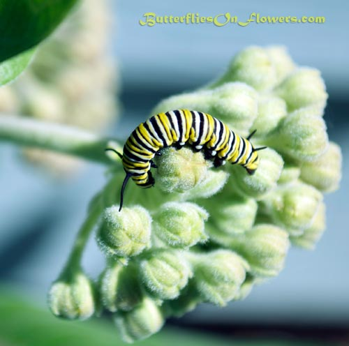 photo of Monarch caterpillar curled around common milkweed flower buds