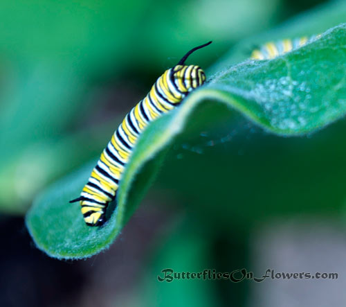 a monarch caterpillar picture showing the larva hanging down the tip of a droopy milkweed leaf.