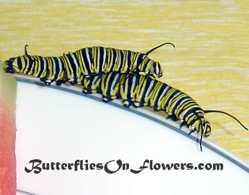 2 monarch caterpillars ride piggyback