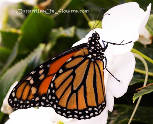 Monarch Butterfly with closed wings on white flowers picture