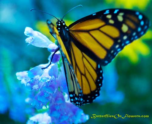 photo of Monarch Butterfly on liatris