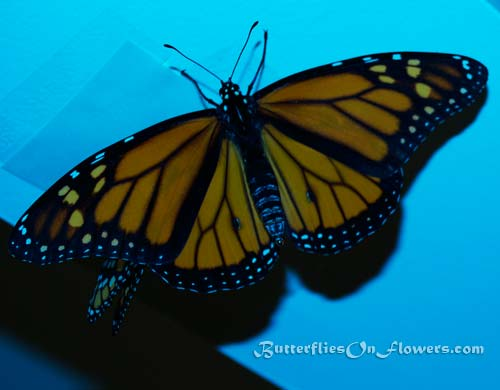 Picture of Monarch Butterflies on Ceiling