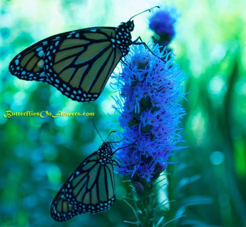 photo of Monarch Butterflies Sharing Dense Blazingstar Plant