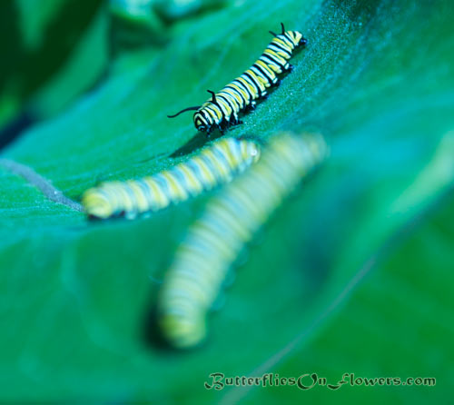 picture of three monarch caterpillars crawling across milkweed