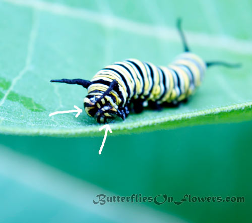 picture showing freak of nature two headed monarch butterfly caterpillar