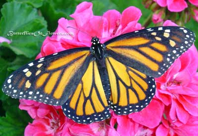 female monarch butterfly open-winged on pink flowers