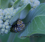 the host plant for monarch caterpillars