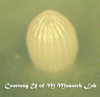 close-up of monarch butterfly egg