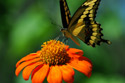 swallowtail on orange flower