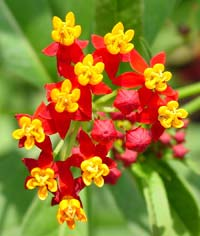 tropical milkweed with flowers in bloom