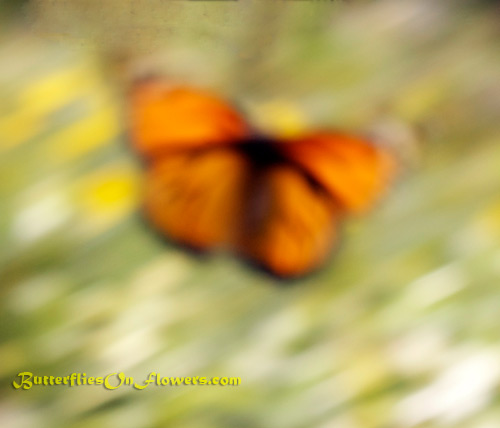 A monarch butterfly takes off from a flower leaving a picture that looks more like an abstract butterfly painting.