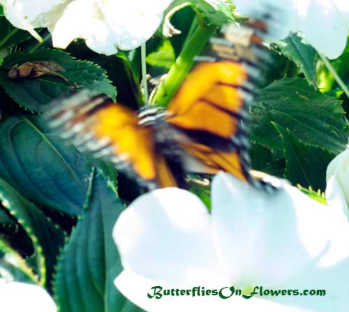 Monarch Butterfly in motion on white flowers picture