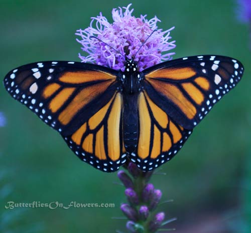 Picture of a brilliant female monarch butterfly showing off her wings on Liatris spicata