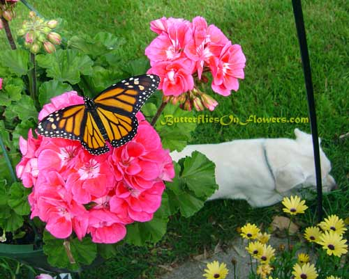 Picture of female monarch butterfly spreading her wings on a pink geranium.