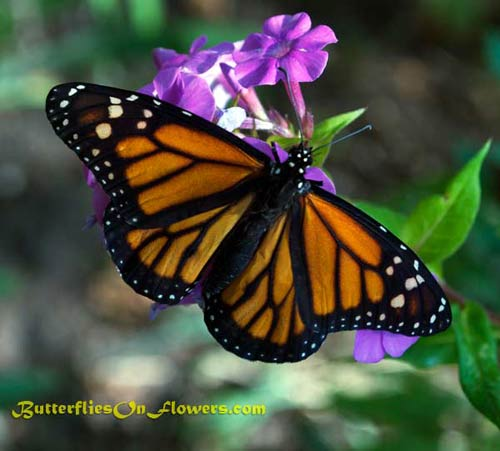 picture of Male Monarch Butterfly with Wings Spread on Garden Phlox