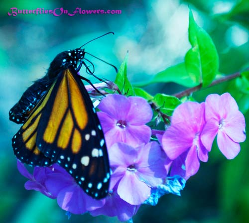 picture of Monarch Butterfly showing head, thorax, and abdomen on Garden Phlox