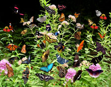 butterfly bush with many butterflies