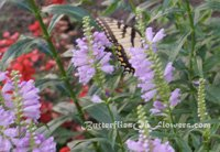 Butterfly garden with tiger swallowtail