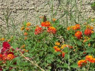 Desert Butterfly on Lantana
