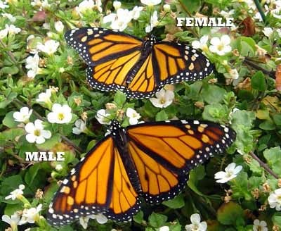 Two open-winged monarch butterflies on white flowers