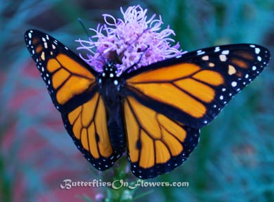 Male Monarch Butterfly open-winged on Liatris