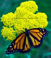 monarch butterfly on yellow yarrow
