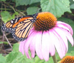 a popular butterfly nectar plant