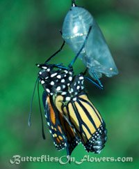 newly hatched monarch butterfly with crinkled wings